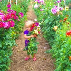 Dahlia Picking